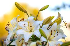 White yellow lilies at sunset in the garden Stock Photography
