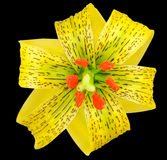 Yellow Asiatic lily with Black Spots Isolated on Black Stock Photo