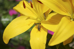 Yellow Asiatic Lily and Yellow Jacket Royalty Free Stock Image