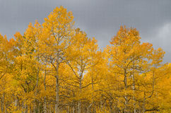 Yellow aspen Stock Photography