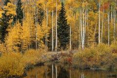 Yellow aspen in Colorado. Yellow aspen during the foliage season in Colorado stock images