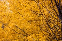 Yellow aspen foliage at autumn Stock Image