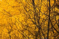 Yellow aspen foliage at autumn Royalty Free Stock Photo