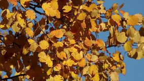 Yellow aspen foliage over a blue sky stock video
