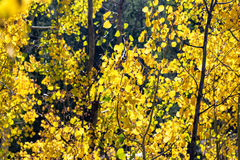 Yellow Aspen Foliage Stock Images
