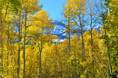 Yellow aspen during the foliage season Royalty Free Stock Photography