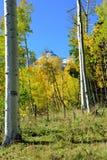 Yellow aspen during the foliage season Stock Photos