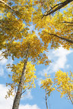 Yellow aspen forest Stock Photography