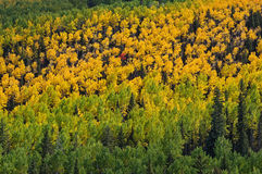 Yellow Aspen Forest Royalty Free Stock Photo