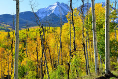 Yellow aspen in front of the mountains Royalty Free Stock Images