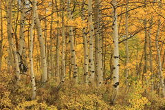 Yellow aspen glade background. Stock Photos