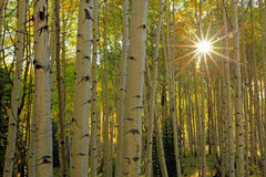 Yellow aspen glade in the Rocky Mountains. Royalty Free Stock Image