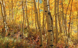 Yellow aspen glade in the Utah mountains. Royalty Free Stock Photos