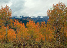 Yellow aspen glade in the Utah mountains. Royalty Free Stock Images
