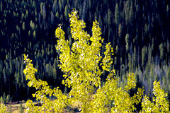Yellow Aspen and green forest Royalty Free Stock Photo