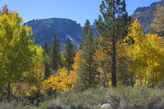 Yellow Aspen and green Pine Tr. Fall scene of yellow Aspen trees and green pine trees stock images