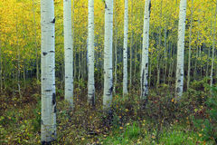 Yellow aspen grove in the Rocky Mountains. Royalty Free Stock Photography
