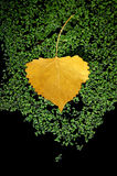 Yellow Aspen Leaf. A yellow Aspen Leaf Floating on Green Moss in Black Water Royalty Free Stock Photos