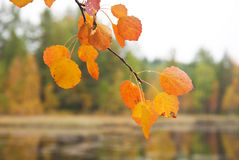 Yellow aspen leaf Royalty Free Stock Image