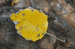 Yellow aspen leaf. Laying on the stub Stock Photo