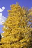 Yellow aspen leaves Royalty Free Stock Images