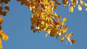 Yellow aspen leaves over sky background stock video footage
