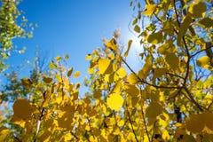 Yellow Aspen Leaves Closeup. Closeup of yellow foliage of an Aspen tree in autumn in Grand Teton National Park Royalty Free Stock Photo