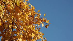 Yellow aspen leaves with copyspace stock video