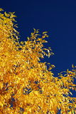 Yellow Aspen Leaves. Fall day in Colorado with brilliant yellow Aspen leaves against blue sky with no clouds, no people stock image