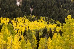 Yellow Aspen Leaves in the Fall surrounded by pines up Big Cottonwood Canyon. Picture taken just below the Solitude Ski Resort up Big Cottonwood Canyon outside stock photos
