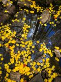 Yellow aspen leaves floating on water stock photos