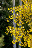 Yellow Aspen leaves in a forest of trees Autumn Stock Photo