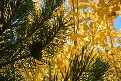 Yellow Aspen Leaves through pine needles stock photos