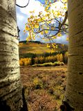 Yellow Aspen Landscape in the Fall in Colorado, USA. Yellow Aspen leaves taken during the autumn months with trees framing the view of a the yellow, orange and stock photos