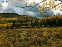 Yellow Aspen Trees and Leaves during a Cloudy Autumn Day. Yellow Aspen leaves taken during September in Colorado, USA. A field and trees changing colors as the stock photo