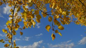 Yellow aspen sunlight leaves against the blue forest sky background. leaves nd beautiful sun glare sun landscape autumn. Yellow aspen sunlight leaves against stock footage