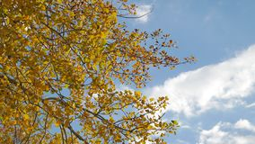 Yellow aspen sunlight leaves against the blue sky background. forest leaves nd beautiful sun glare autumn sun landscape. Yellow aspen sunlight leaves against stock footage