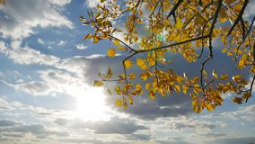 Yellow aspen sunlight leaves against the blue sky background. forest leaves nd beautiful sun glare sun landscape autumn. Yellow aspen sunlight leaves against stock footage