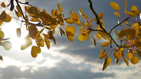 Yellow aspen sunlight leaves against the blue sky background. leaves and beautiful sun forest glare sun landscape autumn. Yellow aspen sunlight leaves against stock footage