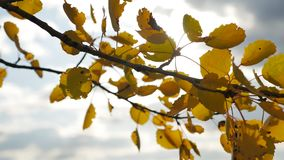 Yellow aspen sunlight leaves against the blue sky background. leaves and beautiful sun glare sun forest landscape autumn. Yellow aspen sunlight leaves against stock video