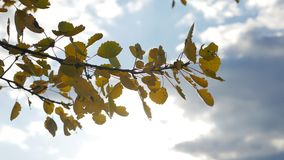 Yellow aspen sunlight leaves against the blue sky background. leaves and beautiful sun glare sun landscape autumn forest. Yellow aspen sunlight leaves against stock footage
