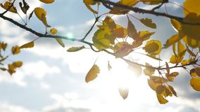 Yellow aspen sunlight leaves against the blue sky background. leaves and beautiful sun glare sun landscape forest autumn. Yellow aspen sunlight leaves against stock video footage