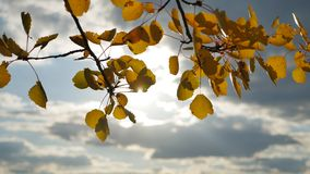 Yellow aspen sunlight leaves against the blue sky background. leaves forest and beautiful sun glare sun landscape autumn. Yellow aspen sunlight leaves against stock video footage