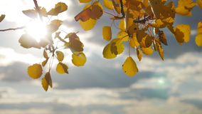 Yellow aspen sunlight leaves against the blue sky background. leaves and forest beautiful sun glare sun landscape autumn. Yellow aspen sunlight leaves against stock video footage