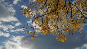 Yellow aspen sunlight leaves against the blue sky forest background. leaves nd beautiful sun glare sun landscape autumn. Yellow aspen sunlight leaves against stock video