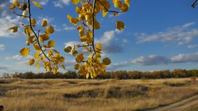 Yellow aspen sunlight leaves against forest the blue sky background. leaves nd beautiful sun glare sun landscape autumn. Yellow aspen sunlight leaves against stock video
