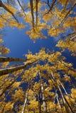 Yellow aspen Stock Image