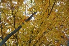 Yellow Aspen Tree Royalty Free Stock Photography