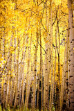 Yellow Aspen tree forest Stock Image