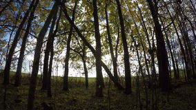 Yellow aspen tree leaves on young trees in the forest by the field, time lapse 4K stock video footage